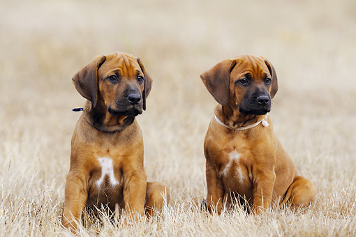 PUP 42 SS0010 01 © Kimball Stock Rhodesian Ridgeback Puppies Sitting In Field