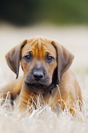PUP 42 SS0012 01 © Kimball Stock Close-Up Of Rhodesian Ridgeback Puppy Laying In Grass