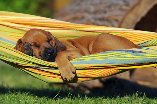 PUP 42 SS0018 01 © Kimball Stock Rhodesian Ridgeback Puppy Sleeping On Hammock