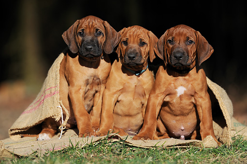 PUP 42 SS0024 01 © Kimball Stock Three Of Rhodesian Ridgeback Puppies Sitting On Burlap Bag On Grass
