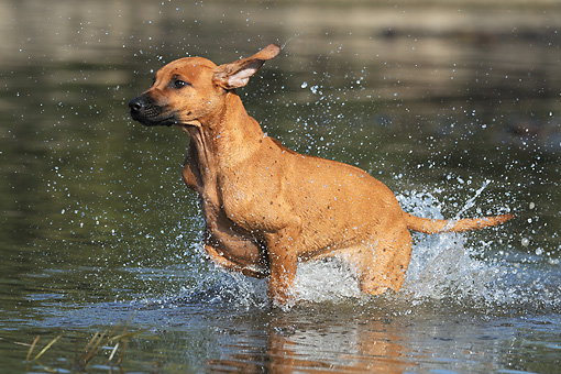 PUP 42 SS0026 01 © Kimball Stock Rhodesian Ridgeback Puppy Splashing Through Water