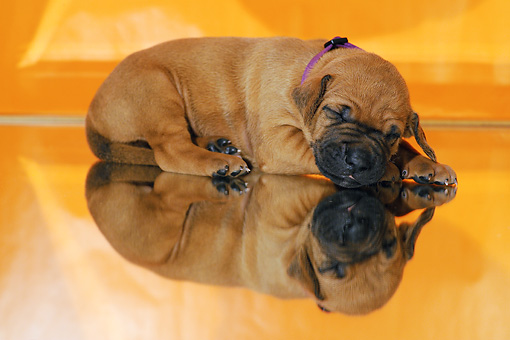 PUP 42 SS0028 01 © Kimball Stock Rhodesian Ridgeback Puppy Sleeping In Reflective Studio