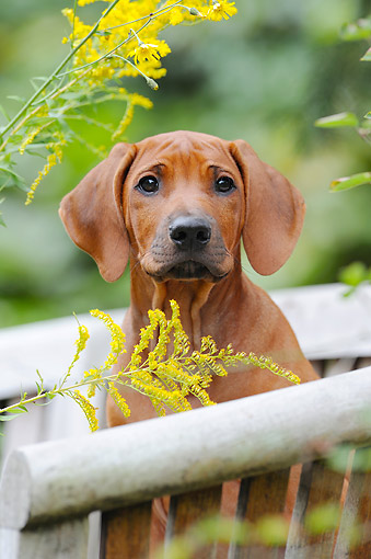 PUP 42 SS0033 01 © Kimball Stock Rhodesian Ridgeback Puppy Sitting On Bench By Flowers