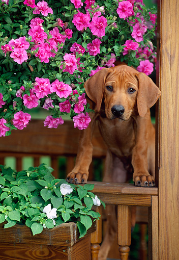 PUP 42 CE0001 01 © Kimball Stock Rhodesian Ridgeback Puppy Standing On Gazebo Fence By Pink Flowers