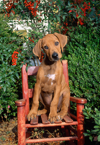 PUP 42 CE0002 01 © Kimball Stock Rhodesian Ridgeback Puppy Sitting On Wooden Chair By Shrubs