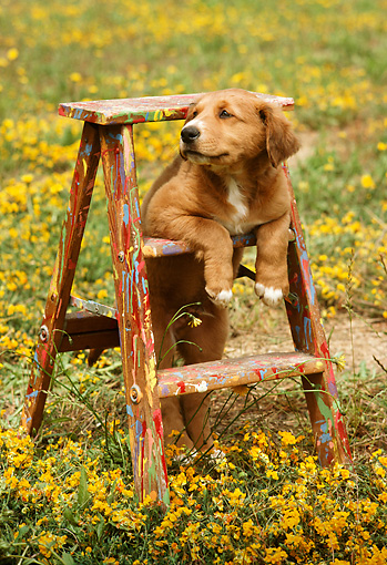 PUP 42 RC0001 01 © Kimball Stock Mixed-Breed Puppy Resting On Ladder In Field Of Yellow Flowers