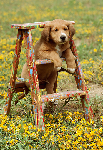 PUP 42 RC0001 02 © Kimball Stock Mixed-Breed Puppy Resting On Ladder In Field Of Yellow Flowers