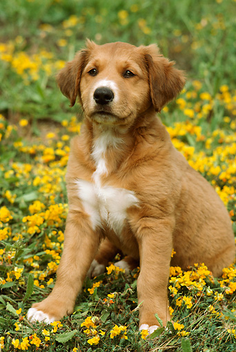 PUP 42 RC0002 01 © Kimball Stock Mixed-Breed Puppy Sitting In Field Of Yellow Flowers