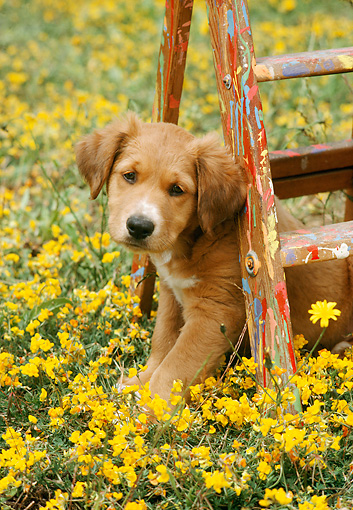 PUP 42 RC0003 01 © Kimball Stock Mixed-Breed Puppy Sitting Under Ladder In Field Of Yellow Flowers