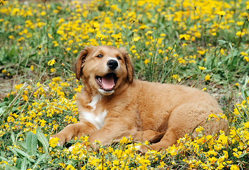 PUP 42 RC0005 01 © Kimball Stock Rhodesian Ridgeback Puppy Laying In Field Of Yellow Flowers