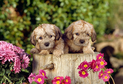 PUP 43 RC0001 01 © Kimball Stock Portrait Of Two Dandie Dinmont Terrier Puppies Sitting On Tree Stump In Garden By Pink Flowers