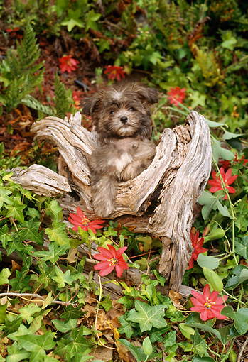 PUP 43 RC0002 01 © Kimball Stock Portrait Of Shih Tzu Puppy Sitting On Tree Stump In Garden By Red Flowers