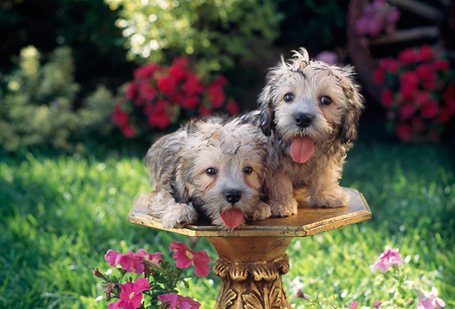 PUP 43 RC0003 01 © Kimball Stock Portrait Of Two Dandie Dinmont Terrier Puppies Sitting On Pedestal In Garden By Pink Flowers