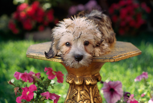 PUP 43 RC0004 01 © Kimball Stock Portrait Of Dandie Dinmont Terrier Puppy Laying On Pedestal In Garden By Pink Flowers