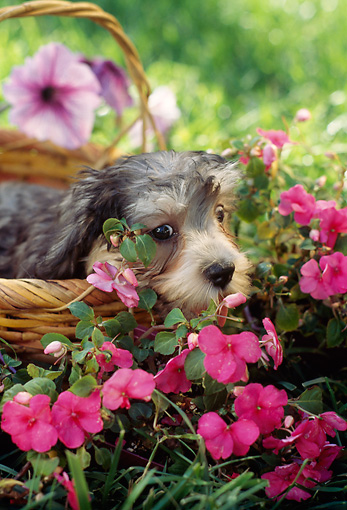 PUP 43 RC0006 01 © Kimball Stock Portrait Of Dandie Dinmont Puppy Laying In Basket In Garden By Pink Flowers