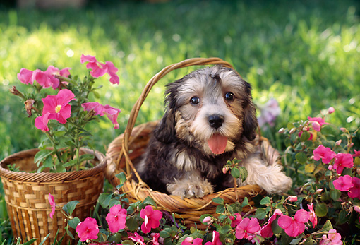 PUP 43 RC0007 01 © Kimball Stock Portrait Of Dandie Dinmont Puppy Sitting In Basket In Garden By Pink Flowers