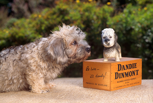PUP 43 RC0008 01 © Kimball Stock Portrait Of Dandie Dinmont Terrier Puppy Sniffing Dog Statue On Mat By Shrubs