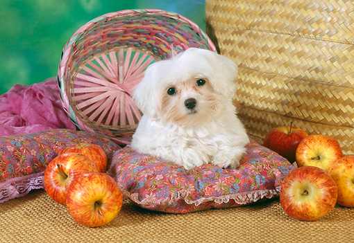 PUP 43 RC0009 01 © Kimball Stock Portrait Of Maltese Puppy Laying On Pillow By Baskets And Apples