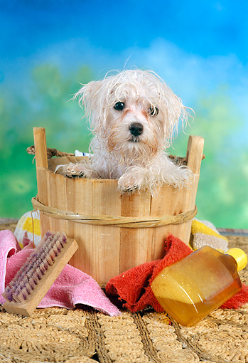 PUP 43 RC0010 01 © Kimball Stock Portrait Of Maltese Puppy Getting A Bath In Wooden Bucket