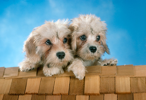PUP 43 RC0012 01 © Kimball Stock Portrait Of Two Dandie Dinmont Terrier Puppies Laying On Shingled Roof Studio