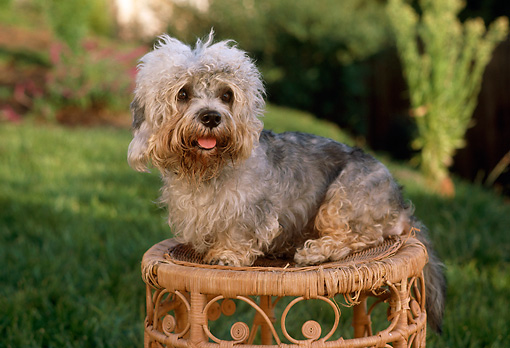 PUP 43 RC0013 01 © Kimball Stock Portrait Of Dandie Dinmont Puppy Sitting On Wicker Table In Garden