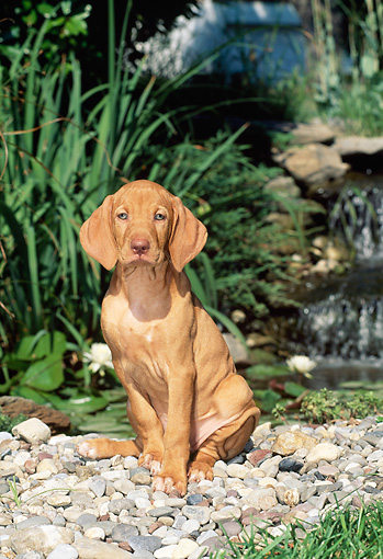 PUP 44 CE0004 01 © Kimball Stock Vizsla Puppy Sitting On Rocks Near Pond