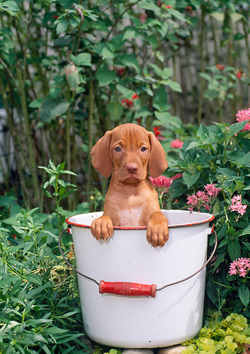 PUP 44 CE0006 01 © Kimball Stock Vizsla Puppy Sitting Inside Bucket In Garden