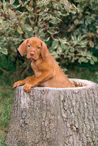 PUP 44 CE0007 01 © Kimball Stock Vizsla Puppy Sitting Inside Hollow Tree Stump