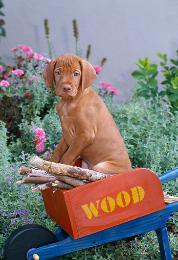 PUP 44 CE0008 01 © Kimball Stock Vizsla Puppy Sitting Inside Toy Wheelbarrow