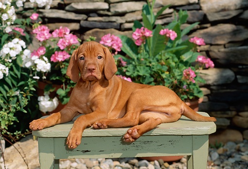 PUP 44 CE0001 01 © Kimball Stock Vizsla Puppy Laying On Bench By Flowers And Stone Wall