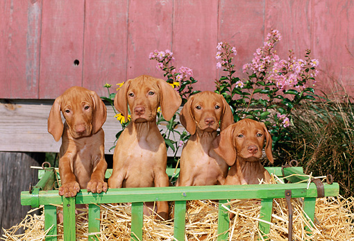 PUP 44 CE0002 01 © Kimball Stock Four Vizsla Puppies Sitting In Straw In Green Cart By Barn And Flowers