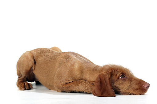 PUP 44 JD0002 01 © Kimball Stock Vizsla Puppy Laying On White Seamless Studio