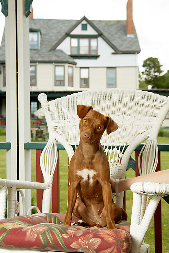 PUP 44 MQ0001 01 © Kimball Stock Vizsla Puppy Sitting On White Wicker Chair On Porch