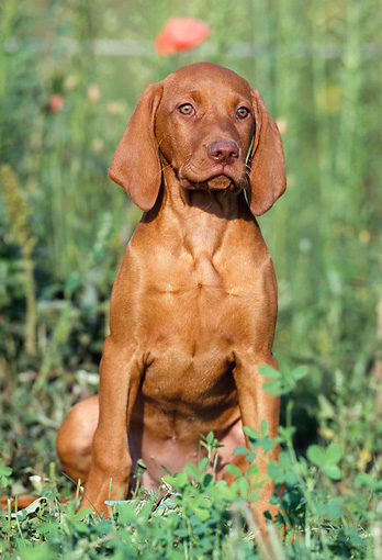PUP 44 SS0001 01 © Kimball Stock Vizsla Puppy Sitting In Field