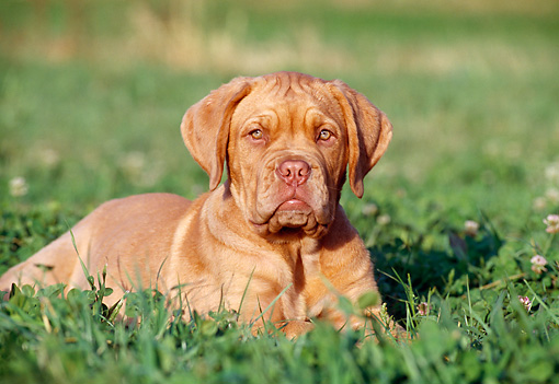 PUP 45 CB0002 01 © Kimball Stock Dogue De Bordeaux Puppy Laying In Grass