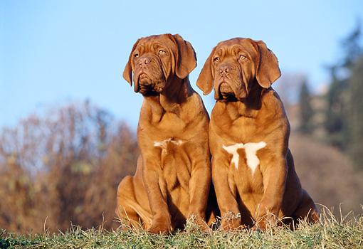 PUP 45 CB0004 01 © Kimball Stock Two Dogue De Bordeaux Puppies Sitting On Grass