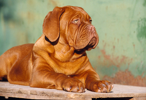 PUP 45 CB0008 01 © Kimball Stock Close-Up Of Dogue De Bordeaux Puppy Laying On Wooden Deck
