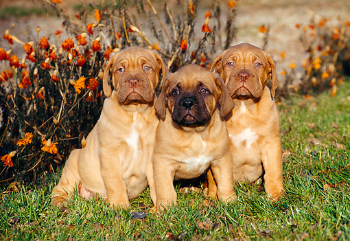 PUP 45 CB0009 01 © Kimball Stock Three Dogue De Bordeaux Puppies Sitting On Grass In Autumn