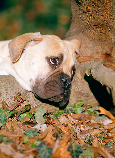 PUP 45 CB0011 01 © Kimball Stock Portrait Of Bullmastiff Puppy Resting On Tree Root