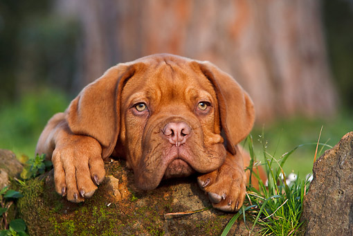 PUP 45 CB0014 01 © Kimball Stock Dogue De Bordeaux Puppy Laying On Moss Covered Rock