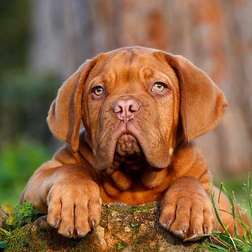 PUP 45 CB0015 01 © Kimball Stock Dogue De Bordeaux Puppy Laying On Moss Covered Rock