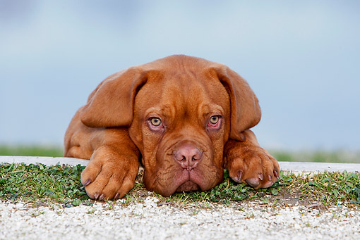 PUP 45 CB0018 01 © Kimball Stock Dogue De Bordeaux Puppy Laying On Grass