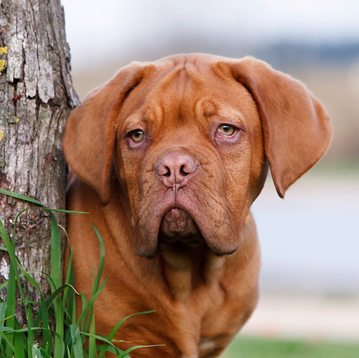 PUP 45 CB0019 01 © Kimball Stock Portrait Of Dogue De Bordeaux Puppy By Tree Trunk