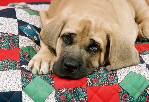 PUP 45 FA0002 01 © Kimball Stock Head Shot Of Mastiff Puppy Laying On Quilt