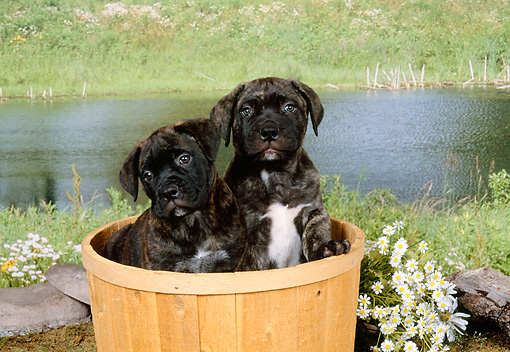 PUP 45 FA0005 01 © Kimball Stock Two Bullmastiff Puppies Sitting In Basket By Flowers And Pond