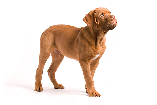 PUP 45 JE0001 01 © Kimball Stock Dogue de Bordeaux Puppy Standing Seamless