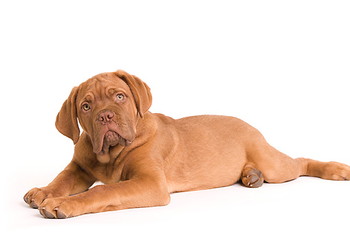 PUP 45 JE0003 01 © Kimball Stock Dogue de Bordeaux Puppy Laying Seamless