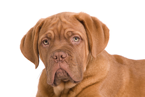 PUP 45 JE0005 01 © Kimball Stock Head Shot Of Dogue de Bordeaux Puppy Laying Seamless