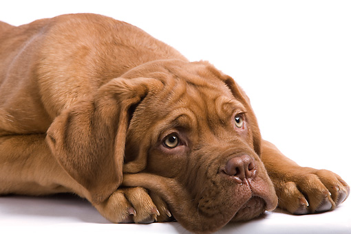PUP 45 JE0006 01 © Kimball Stock Head Shot Of Dogue de Bordeaux Puppy Laying Seamless