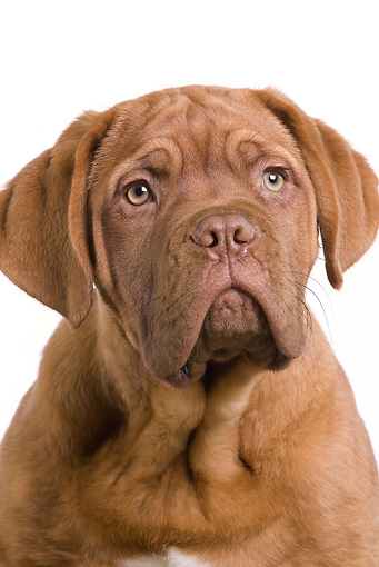 PUP 45 JE0007 01 © Kimball Stock Head Shot Of Dogue de Bordeaux Puppy Sitting Seamless